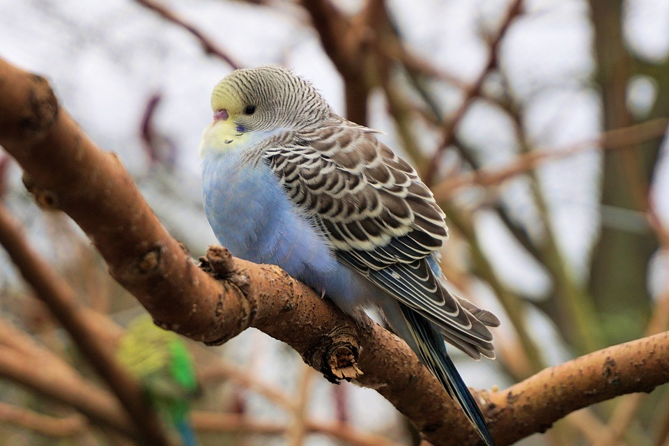 Budgie, Bird, Animal World, Plumage, Portrait, Bill