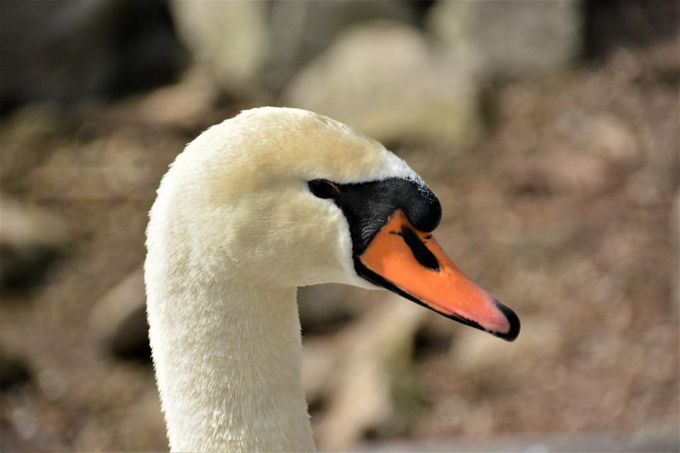 Swan, Bird, Head, Beak, Bill, Waterfowl, Water Bird