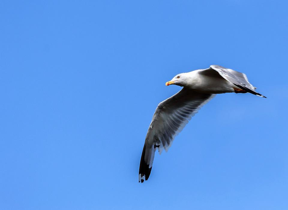 Seagull, Sky, Fly, Bird, Coast, Bill, Beach