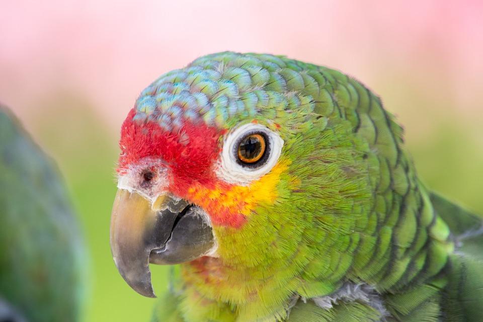 Parrot, Close Up, Colorful, Animal Portrait, Bill