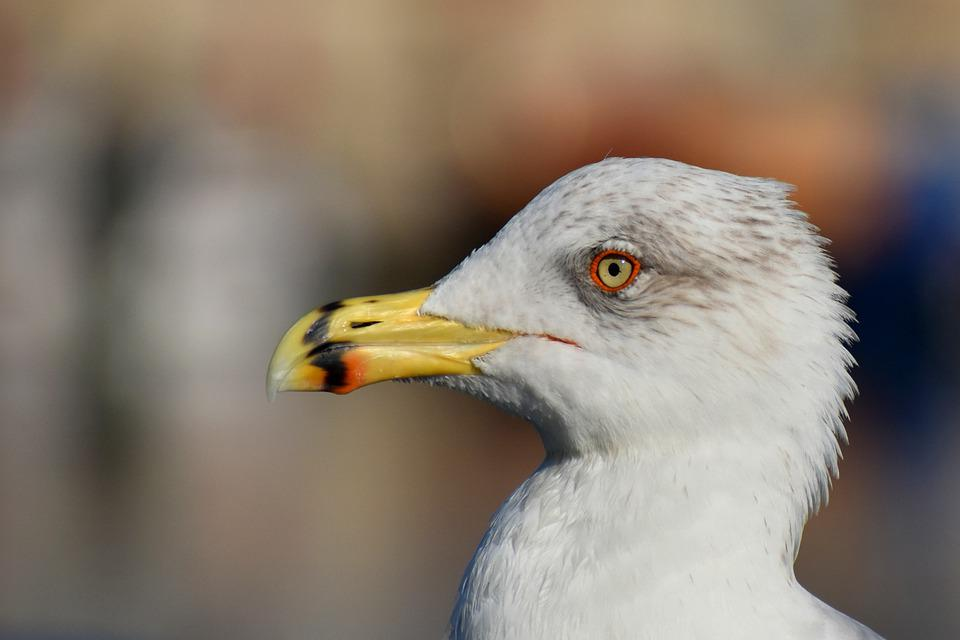 Bird, Seagull, Gull, Seabird, Beak, Bill, Portrait