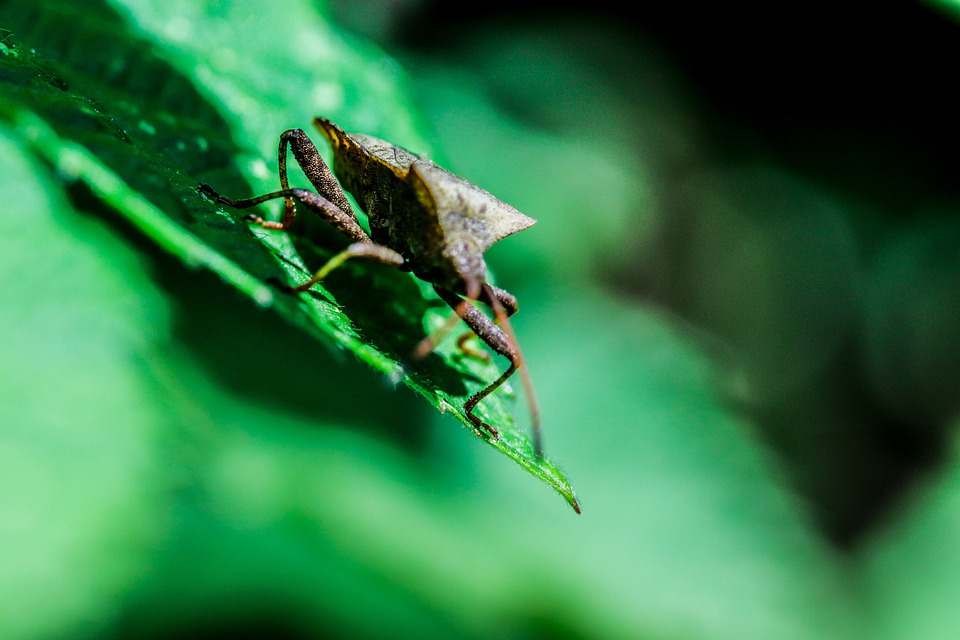 Leather Bug, Bill Kerfe, Bug, Insect, Green, Macro