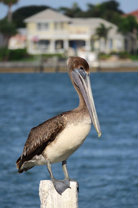 Pelikan, Bill, Florida, Water Bird, House, Water, Bird