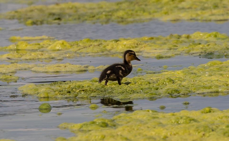Duckling, Bird, Animals, Plumage, Beak, Bill, Waterfowl