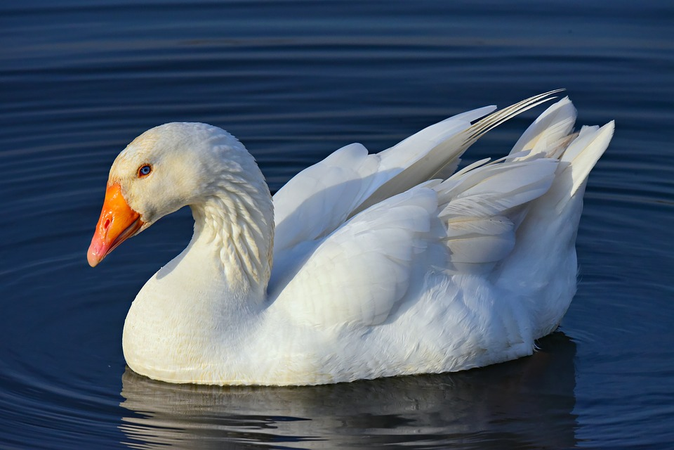 Goose, Water Bird, Animal, Water Fowl, Plumage, Bill