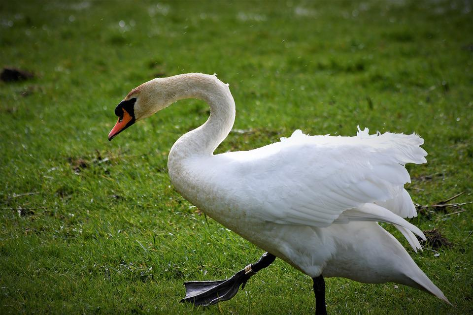 Swan, Close Up, Portrait, Nature, Animal, Bill, Bird