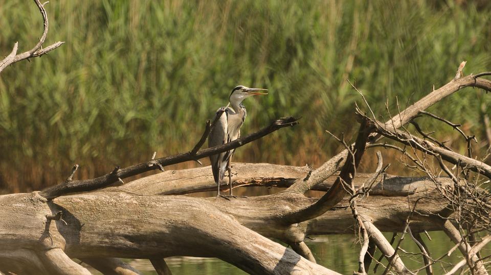 Heron, Lake, Tree, Wild, Bill, Grey Heron, Water Bird