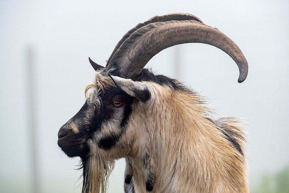 Goat, Billy Goat, Dutch Goat, Animal, Cattle, Horns