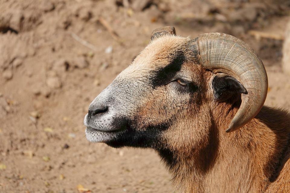 Goat, Horns, Billy Goat, Goat's Head, Animal World