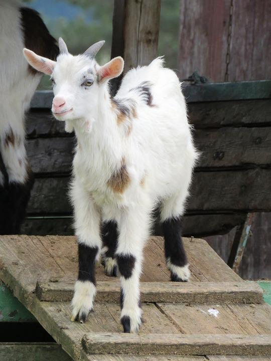 Goat, Pillar, Young Animal, Lamb, Billy Goat