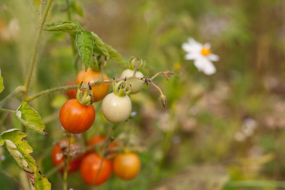 Tomato, Vegetable, Fruit, Bio