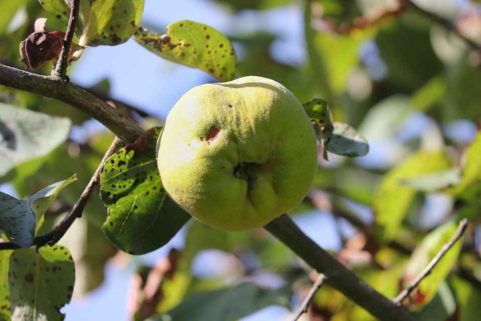 Quince, Fruit, Bio, Left Untreated, Worm Hole