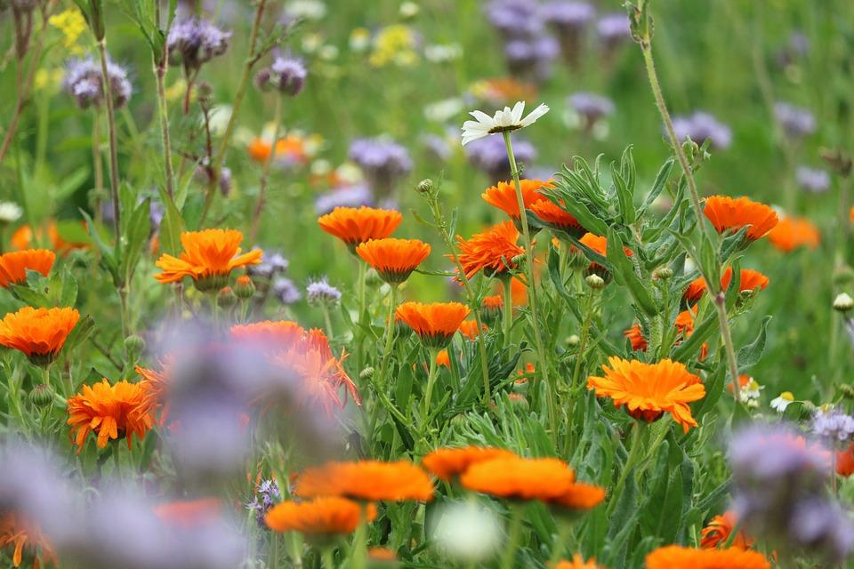 Wild Flower, Biodiversity, Meadow, Nature, Blossom