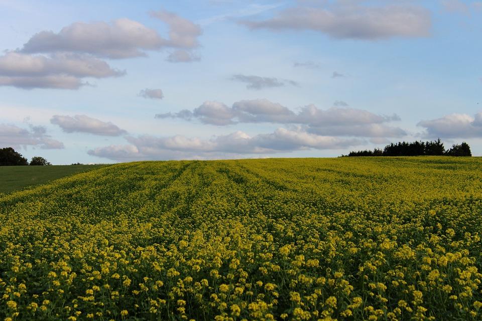 Green Manure, Yellow Mustard, Biological, Fertilizer