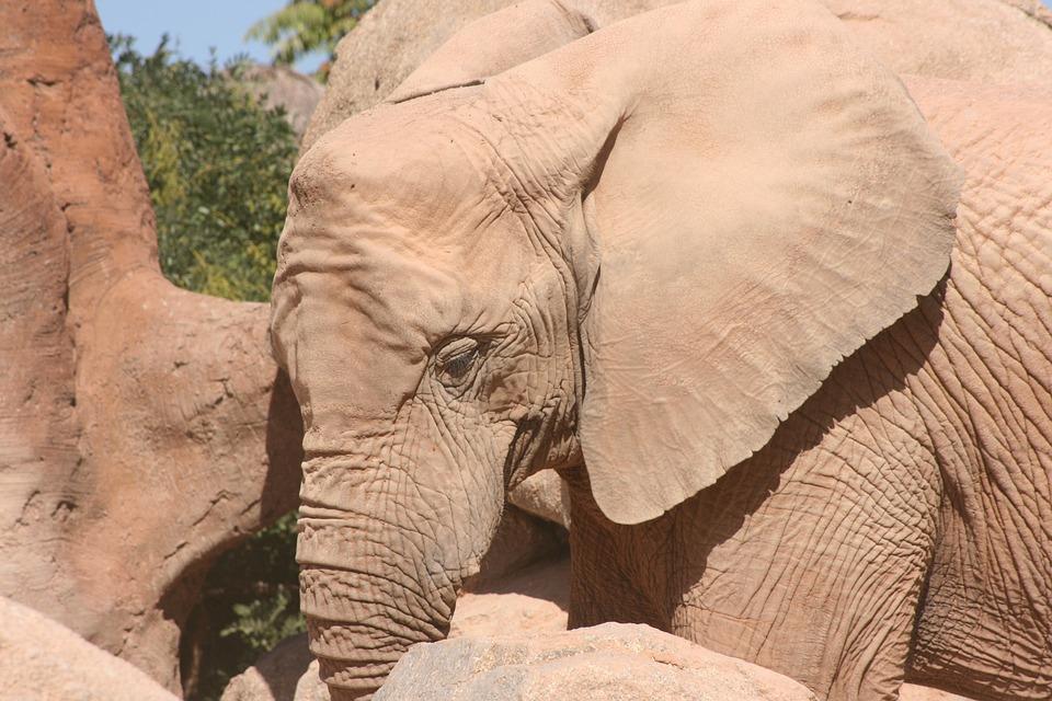 Elephant, Zoo, Valencia, Bioparc, Pachyderm