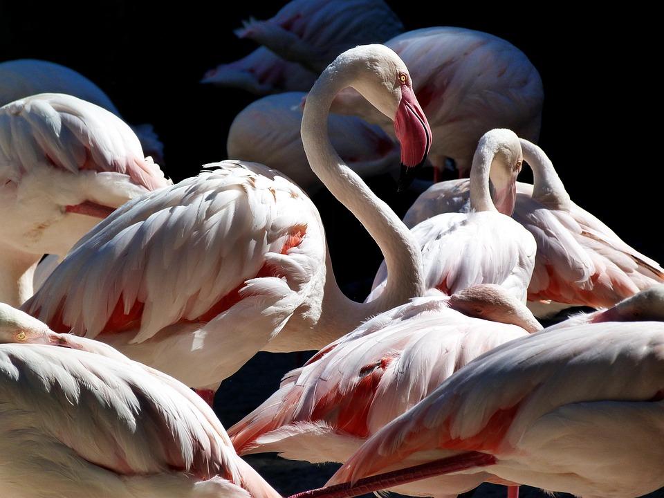 Flemish, Birds, Nature, Bioparc