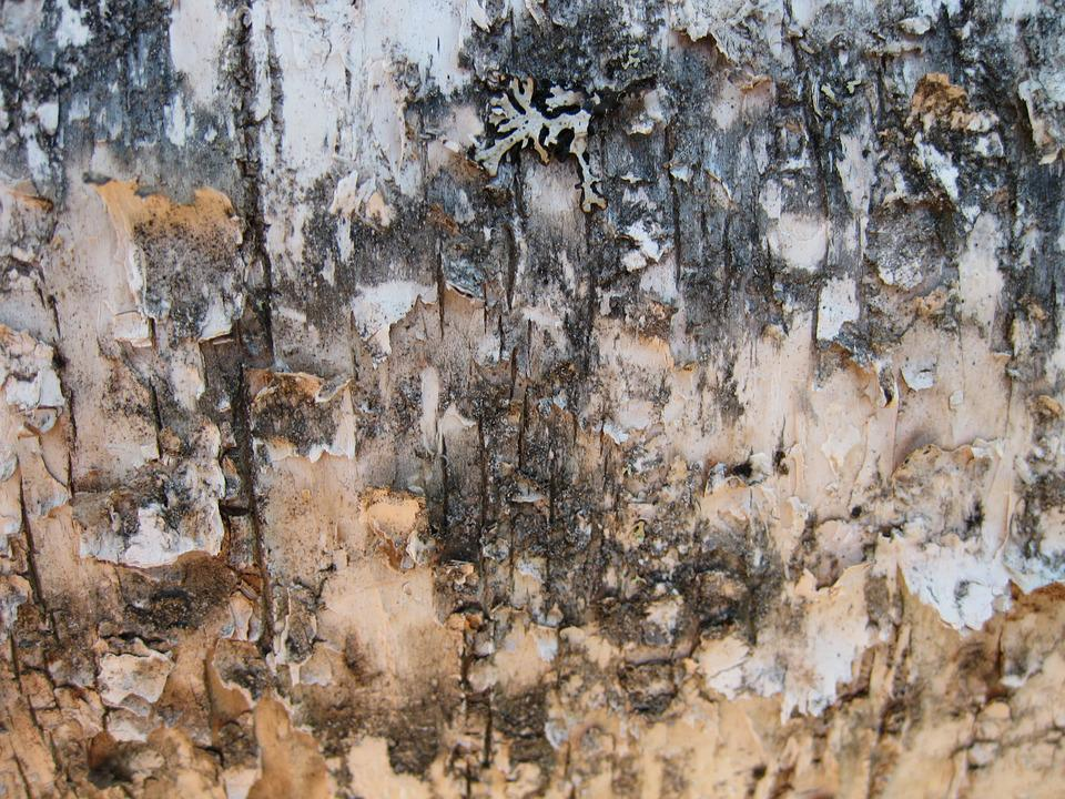 Birch, Birch Bark, Background