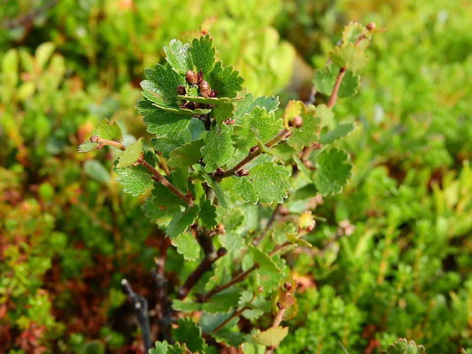 Betula Nana, Birch, Dwarf Birch, Sweden, Plants