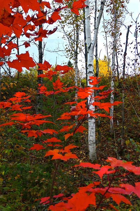 Leaves, Fall, Birch, Colorful, Colors, Forest, Red