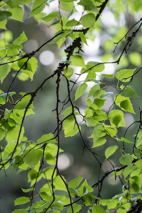 Birch, Foliage, Summer, Branch, Tree, Green, Plant