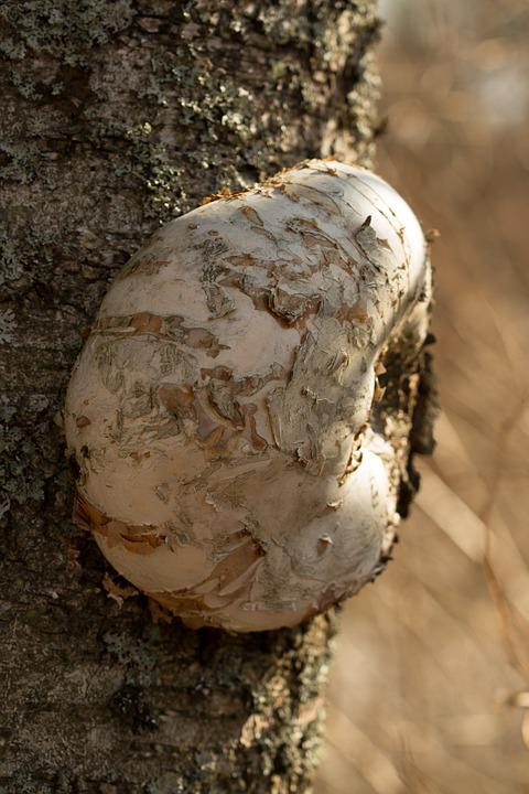 Kääpä, Mushroom, Birch