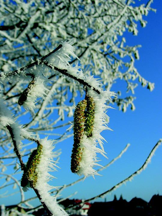 Birch Pollen, Frost, Icy, Winter, Cold, Frozen, Plant