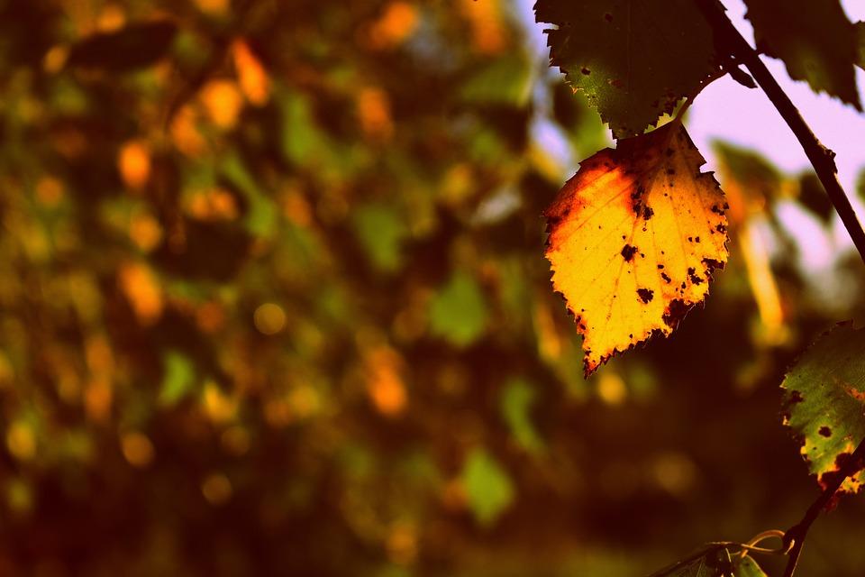Birch Tree, Birch Leaf, Autumn, Fall Season, Nature