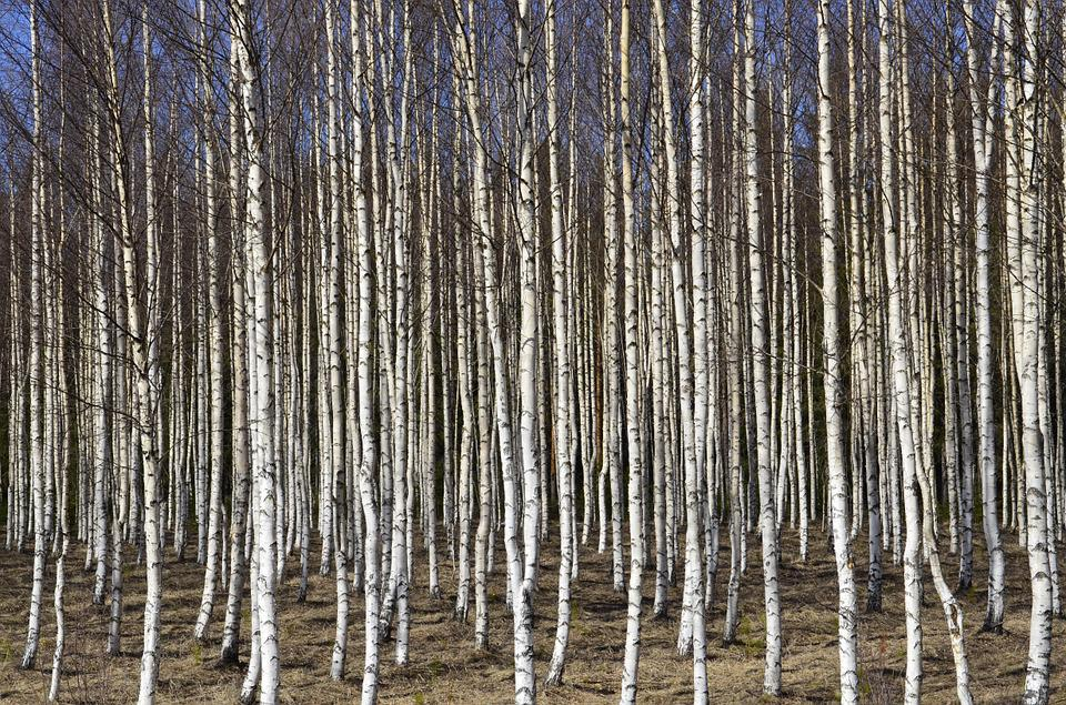 Birch Trees, Birch, Tree