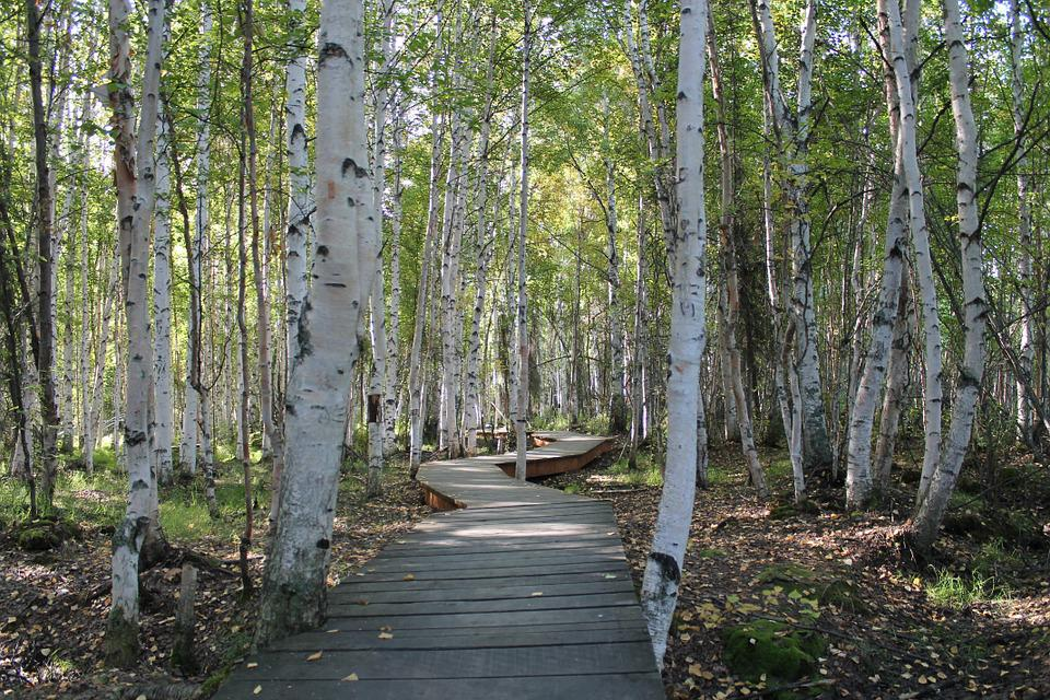 Birch Trees, Path, Nature, Forest, Trees, Birch, Green