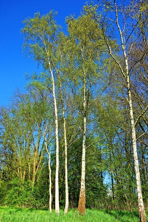 Birch Tree, Birch, Tree, Birch Grove, White, Trunk