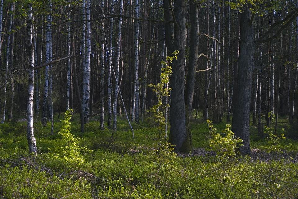 Tree, Birch, Landscape, Forest, Wood, Nature, Colors