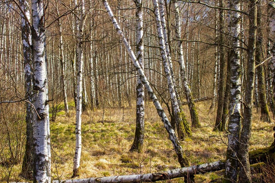 Birch, Birch Trees, Woods, Woodlands, Forest, Branches
