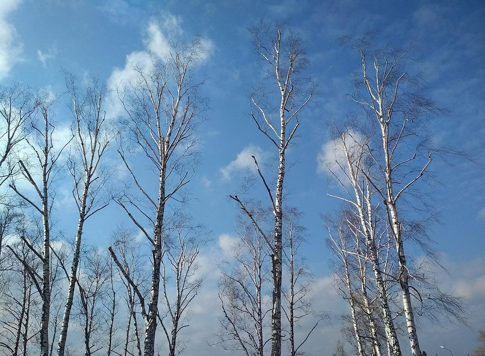 Nature, Winter, Wood, Tree, Birches Trees, Birch