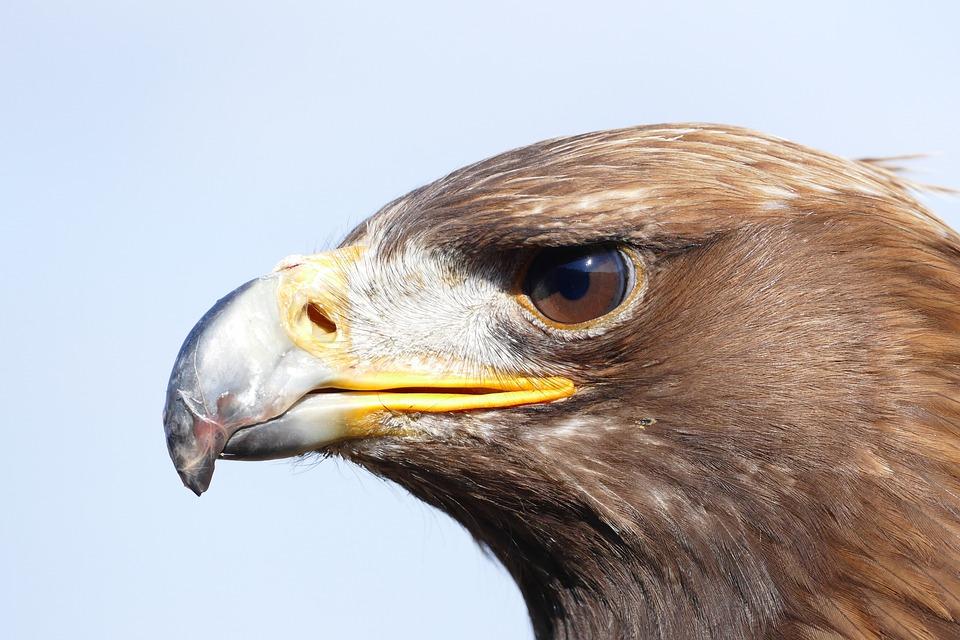Adler, Bird, Bird Of Prey, Raptor, Nature, Close Up