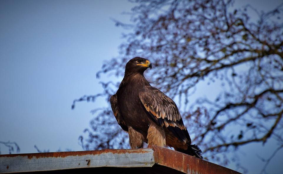 Adler, Bird Of Prey, Raptor, Bird, Bill, Wild Bird