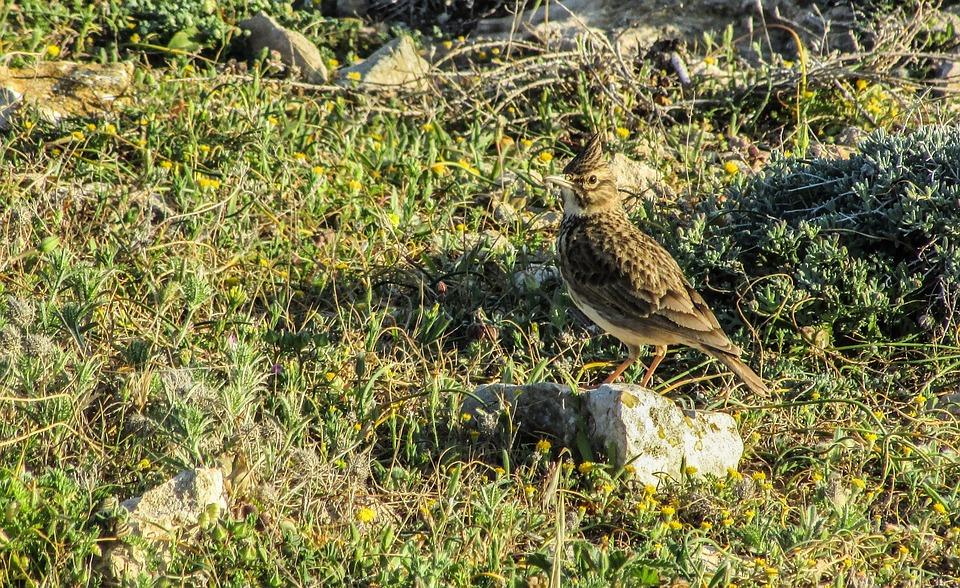 Alauda Arvensis, Bird, Nature, Wild, Wildlife, Animal