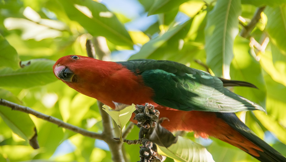 King Parrot, Alisterus Scapularis, Bird, Eating, Male
