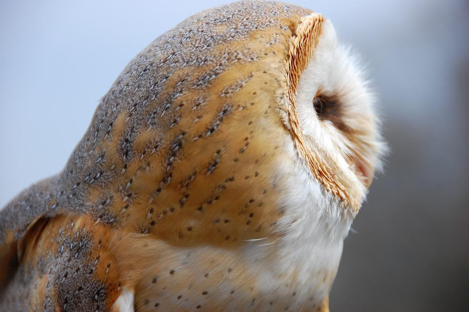 Owl, Bird, Barn Owl, Nature, Animal, Animal World