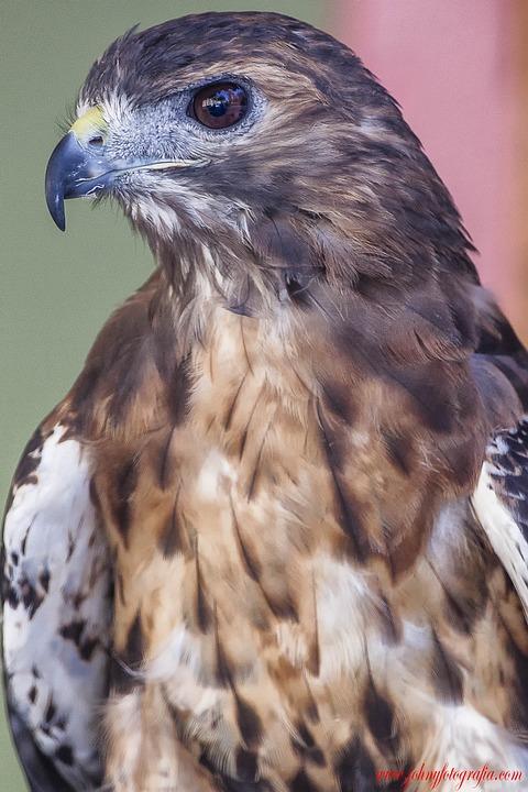 Hawk, Bird, Animal, Perched, Birds Of Prey, Predator