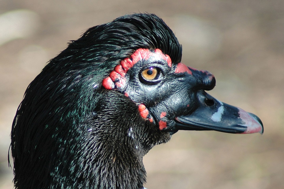 Duck, Ugly, Bird, Animal, Black, Wildlife, Head, Nature