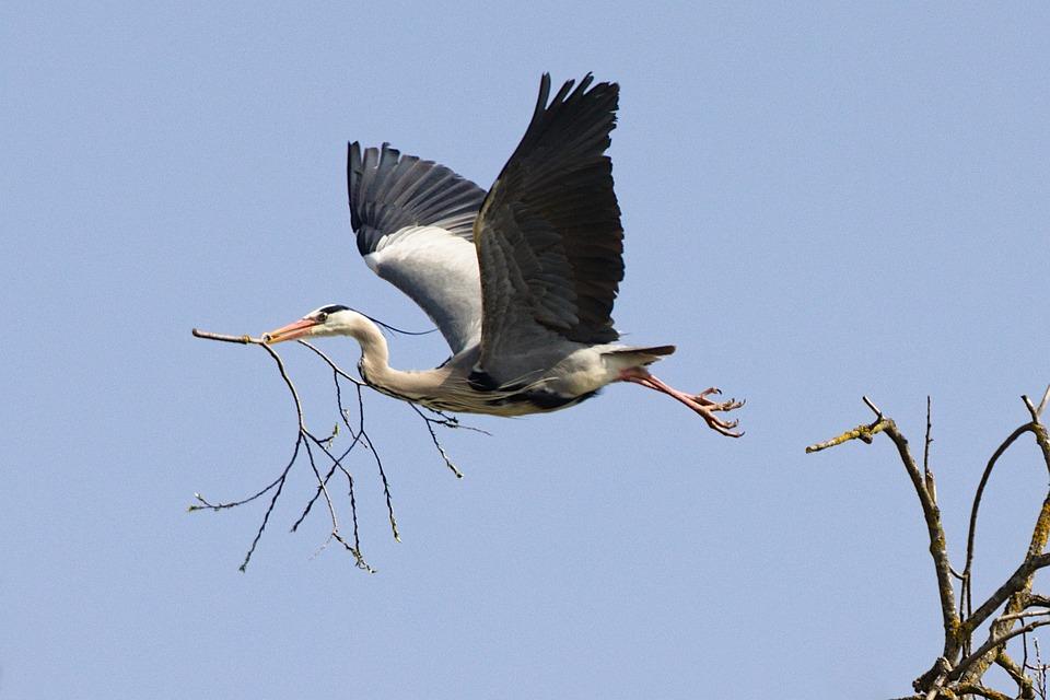 Grey Heron, Branch, Flying, Heron, Bird, Animal