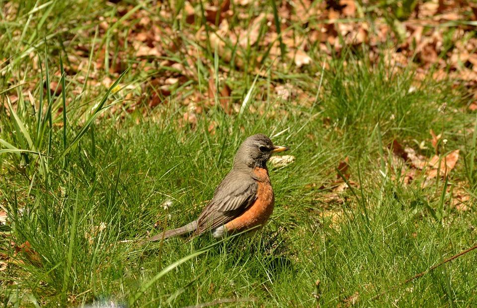 Bird, Cardinal, Wildlife, Nature, Animal, Feathers