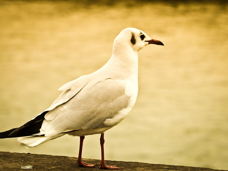 Seagull, Bird, Animal, Close