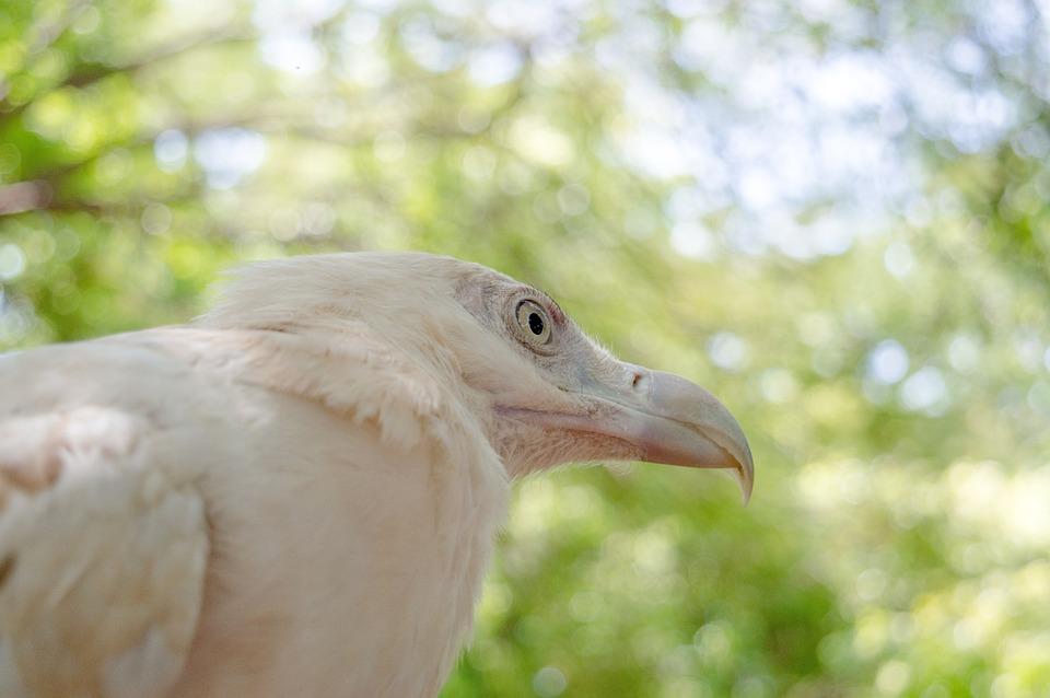 Eagle, Bird, Raptor, Animal, Nature, Portrait, Head