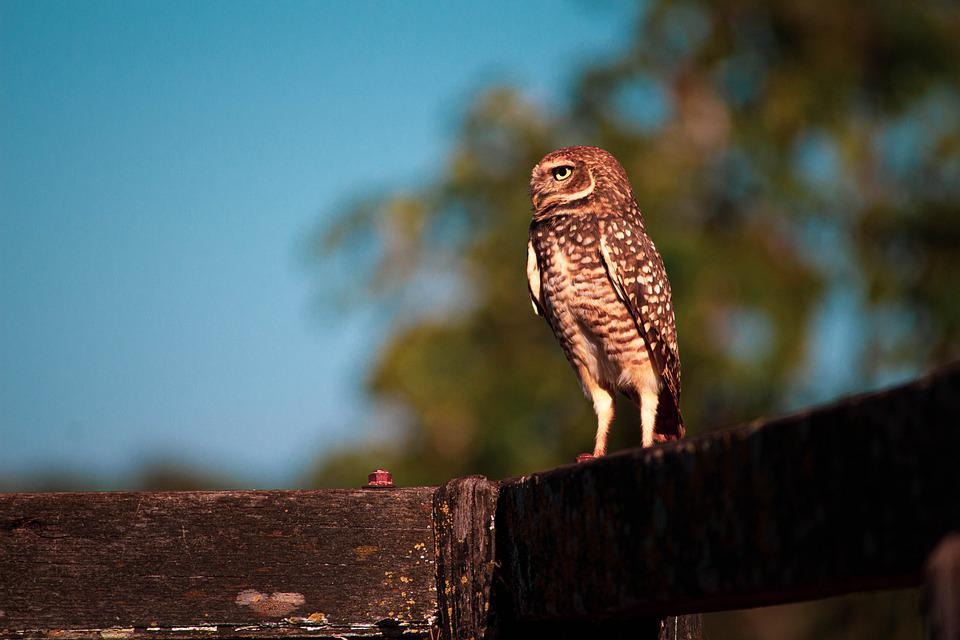 Owl, Animal, Bird, Forest, Eyes, Wild, Flight