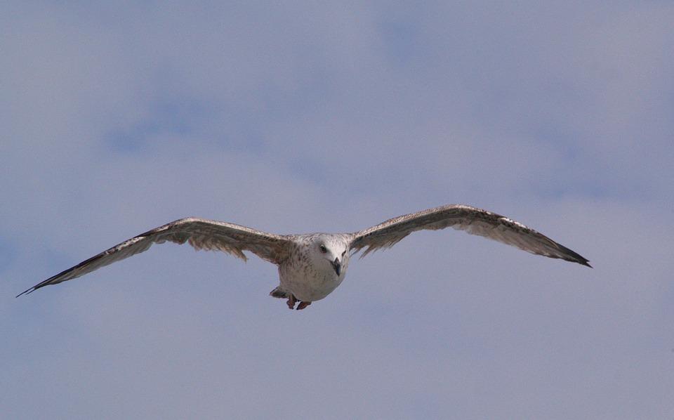Fauna, Animal, Bird, Jvgent, Fly
