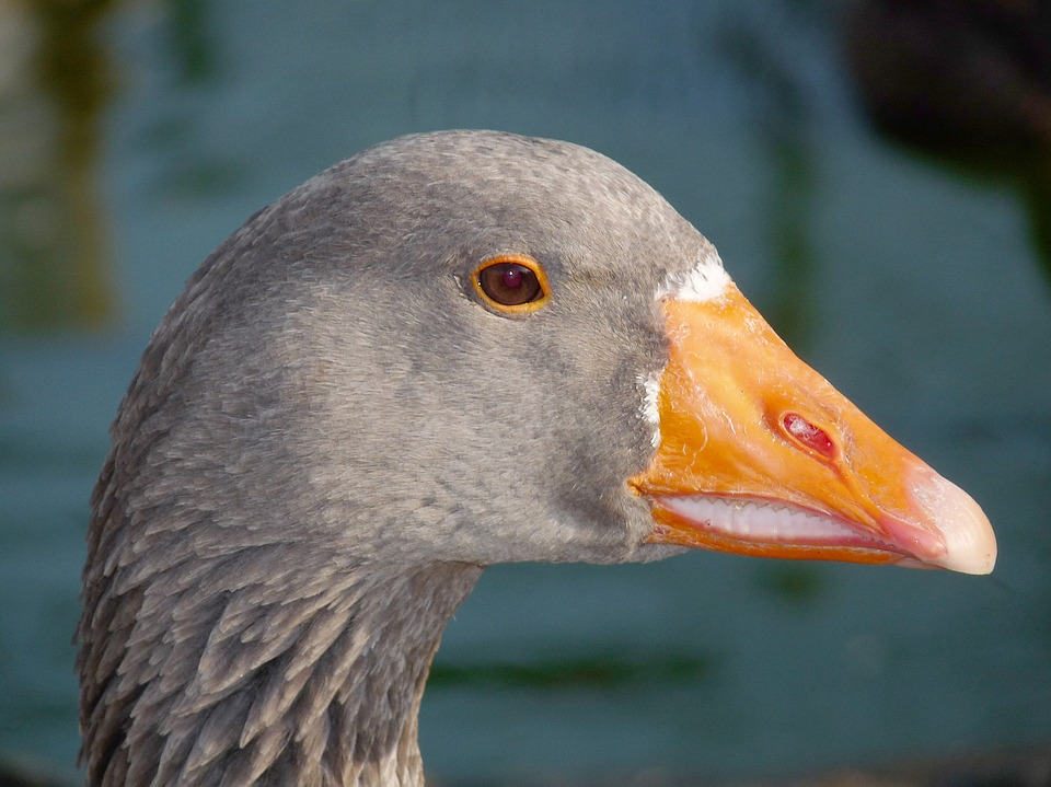Goose, Bird, Animal, Nature, Outdoor, Poultry, Grey
