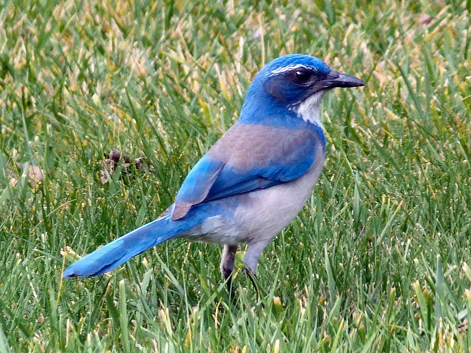 Bluebird, Bird, Animal, Mountain Bluebird