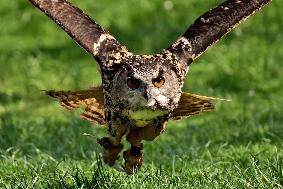 Owl, Bird, Feather, Eagle Owl, Animal, Wild Bird