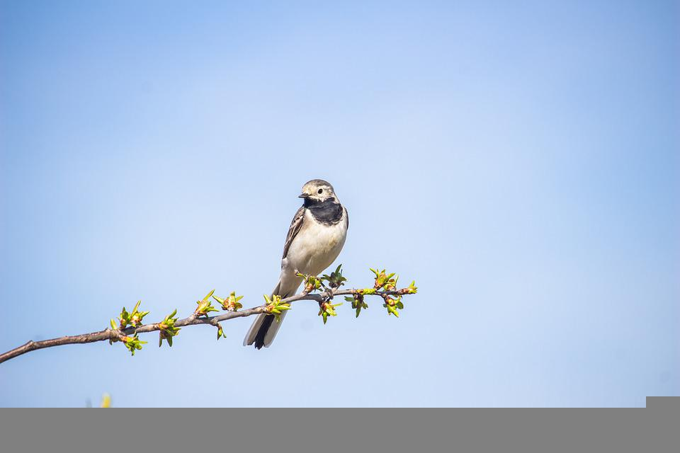 Wagtail, Bird, Branch, Perched, Animal, Wildlife